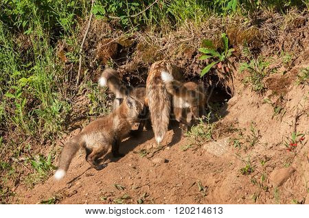 Red Fox Family (vulpes Vulpes) Crowd Into Den