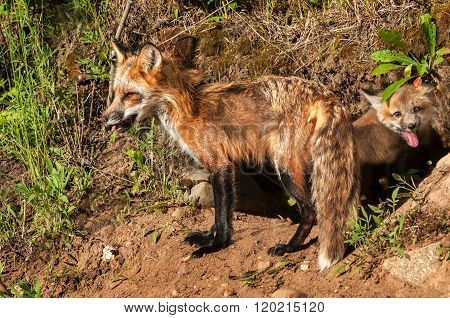 Red Fox Vixen (vulpes Vulpes) And Kit Stand Outside Den
