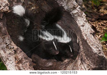 Baby Striped Skunk (mephitis Mephitis) Kits Peer Out Of Log