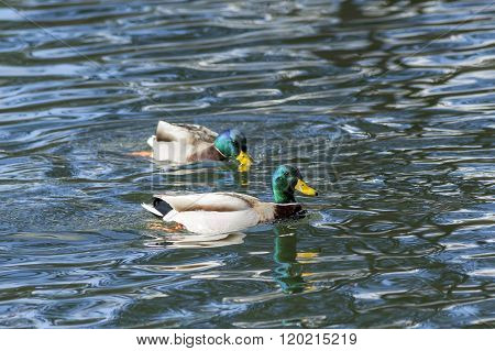 Two Mallards In The Pond.