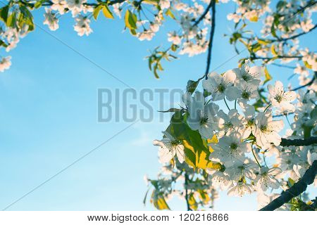 White Cherry Blossom On A Clear Sky Background
