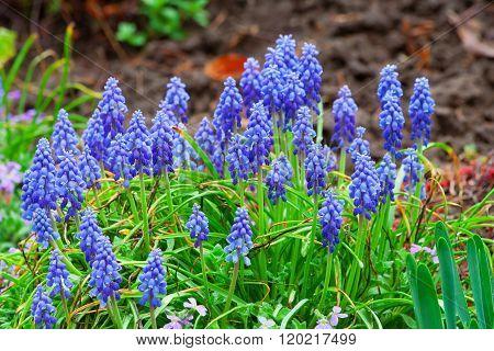Blue Muscari flowers grape hyacinth Bluebells (Grape Hyacinth Muscari armeniacum)