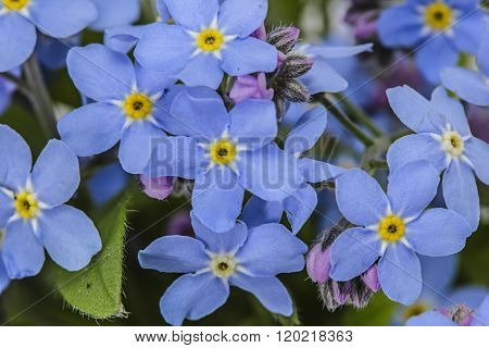 Abstract Background Of Forget-me-not, Close-up