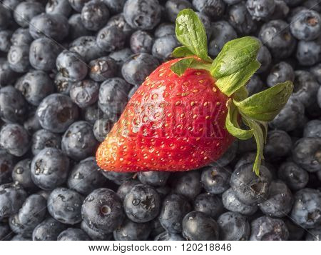 garden strawberry hybrid species of the genus Fragaria on blueberries