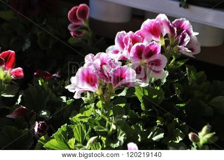 Pelargonium flowers.