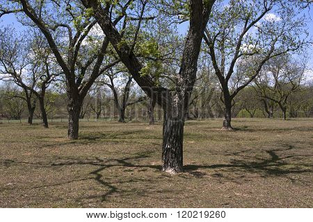 Pecan Trees in Central Texas