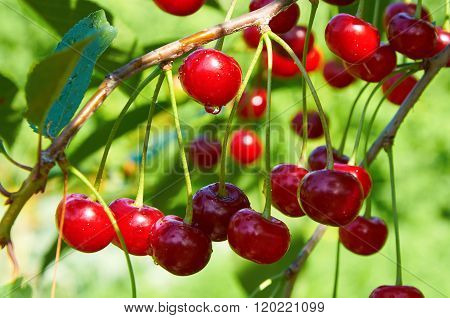 Red Cherries With Waterdrops