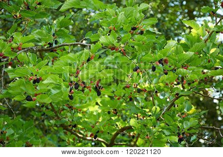 Branch Of Mulberry Tree
