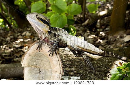 Lizard Eastern Water Dragon