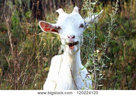 White goat chews grass