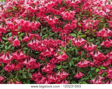 Pink Rhododendron Background