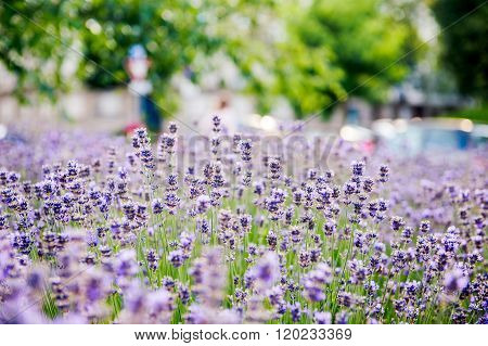 Beautiful lavender seen in the city with defocused urban environemnt in the background
