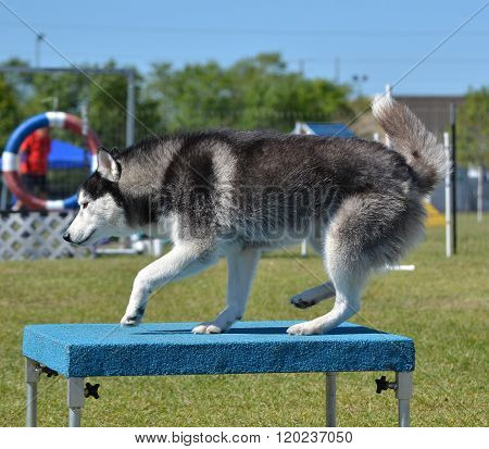 Siberian Husky At Dog Agility Trial