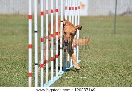 Yellow Labrador Retriever At Dog Agility Trial