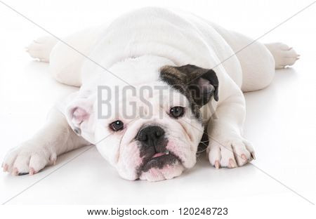 english bulldog puppy laying down isolated on white background
