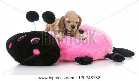 american cocker spaniel puppy going to sleep on a dog bed