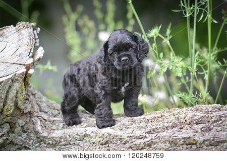 american cocker spaniel puppy climbing on a log