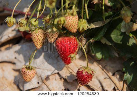 Fresh Strawberry in the farm Tak ,Thailand.