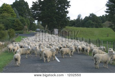 Sheep Country