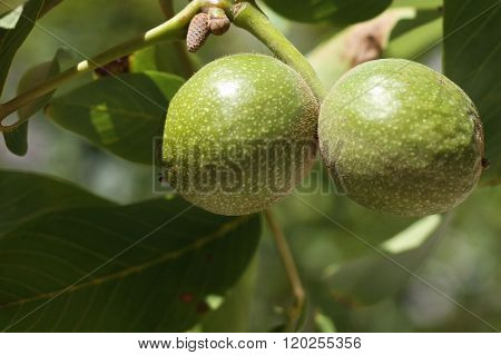 Walnut Tree