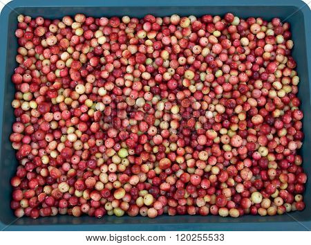 Scattering of cranberries in the tray