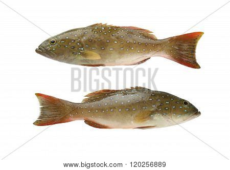 Leopard grouper or Cephalopholis miniatus fish of sea animals in Gulf Thailand isolated on white background and have clipping path.