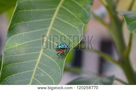 lady bug on mango leaf in garden