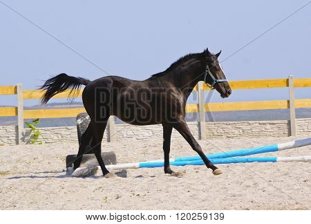 horse in a blue halter run on the sand in the paddock