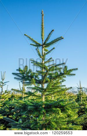 Christmas Tree At A Plantation With Blue Sky