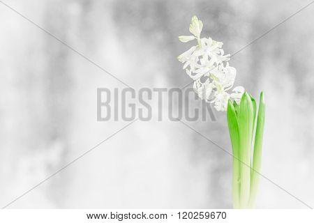 Hyacinth Flower In A Bathroom Window