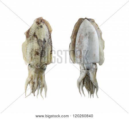 Fresh Cuttlefish (sepia) Isolated On White Background.