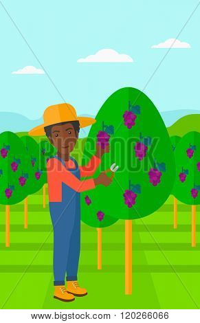 Farmer collecting grapes.