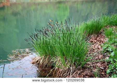 Tuft Of Herb Growing On The Shore Of The Pond