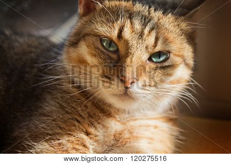 Close Up Portrait Of Beautiful Domestic Cat