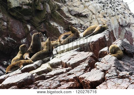 Sea lions fighting for a rock in the peruvian coast at Ballestas islands Peru