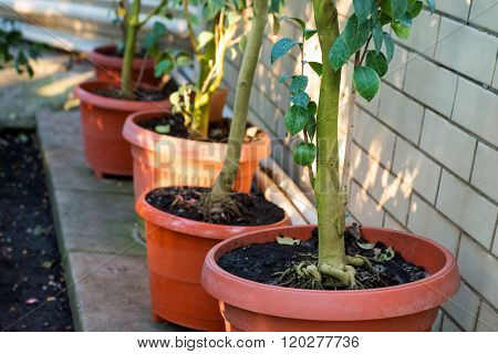 Green Trees Camellia In The Pots