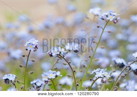 Blue Spring Flowers Closeup, Forget-me-not