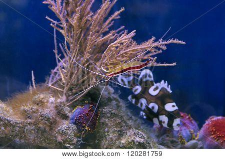 Skunk Cleaner Shrimp Lysmata Amboinensis