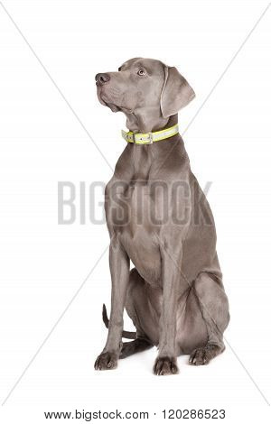 weimaraner dog posing on white