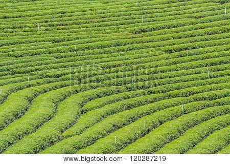 Choui Fong Tea Plantation At Mae Chan District Chiang Rai Province Thailand.