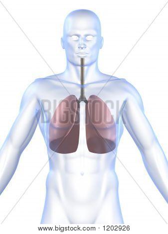 Pulmón humano