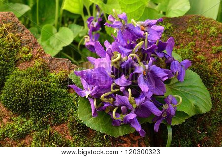 Fresh Spring Violets Close Up