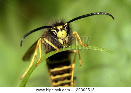 Paper Wasp Drinking Water