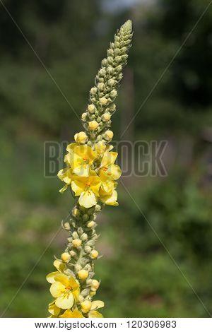Mullein - Yellow Verbascum