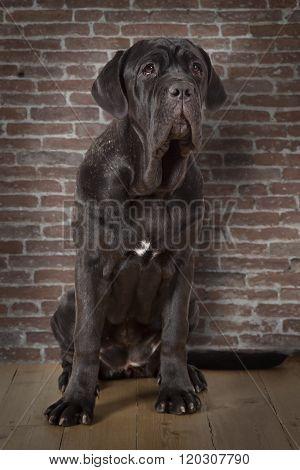 Mastiff Neopolitano Dog Indoors