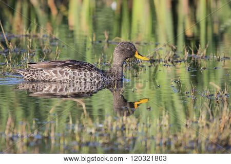 Yellow Billed Duck On A Pond Of Water
