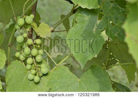 An immature organic white grape in an orchard