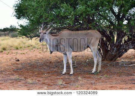 Great Kudu Female Antelope