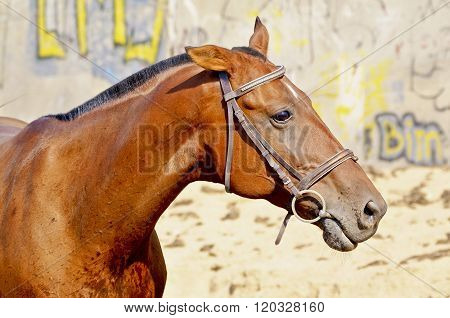 red horse with a short black mane stands next to a wall which is painted graffiti