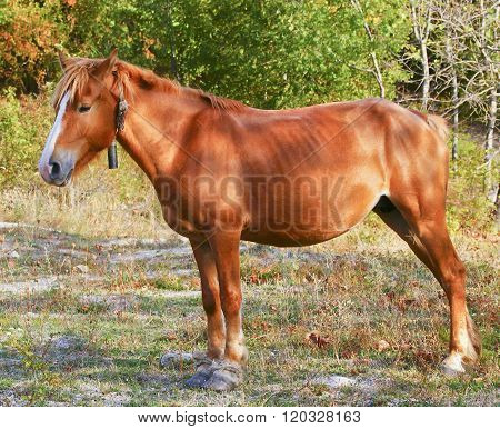 red horse with a white blaze on his head are standing on a grass on a background of trees